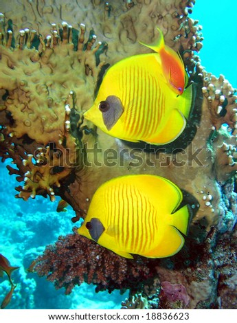 Masked Butterfly Fish in the Red sea