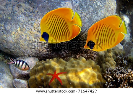 Masked butterfly fishs