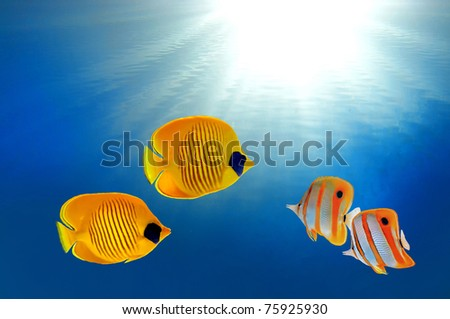 Masked butterflyfish and Copperband butterflyfish
