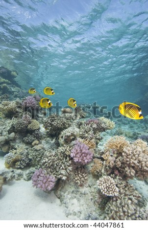 Masked butterflyfish (chaetodon semilarvatus) five adults over coral reef. Gordon reef, Gulf of Aqaba, Red Sea, Egypt.