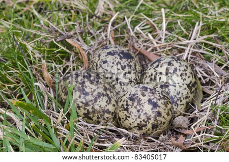 """Masked Lapwing nest with four eggs The masked lapwing, also known as """"plover"""" is an Australian medium-sized conspicuous bird with loud, penetrating calls. This nest had been abandoned by the parents."""