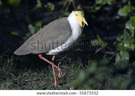 Masked Lapwings Vanellus miles is large, ground-dwelling bird native to Australia that are closely related to the waders.