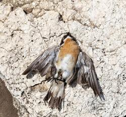 Masked shrike (Lanius nubicus) is a bird in the shrike family, Laniidae. Dead bird. Road wars - death of a  Shrike. Death from the car.