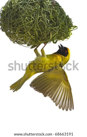 Masked weaver hanging from nest against a white background; Ploceus velatus; South Africa