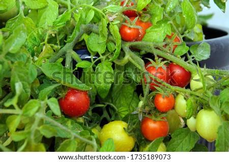 Maskotka cherry tomatoes ripening on the plant. Zdjęcia stock ©