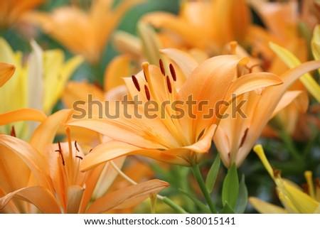 Mass planting of orange daylillies