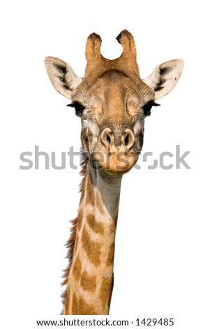 Massai Giraffe Close-up isolated on White. Massai Mara, Kenya