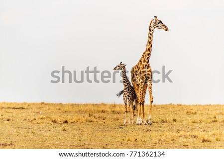 Massai Giraffe Mother, newborn calf in grasslands. Maasai Mara, Kenya, Africa. Savannah landscape. Two giraffes close together, touching, looking in different direction. Family. Baby. Cow. Copy space.