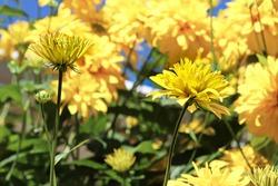 Masses of false sunflower flowers blooming in summer