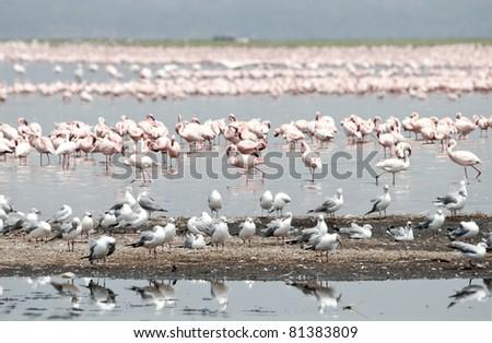 Masses of lesser flamingos, two greater flamingos and many grey headed gulls at the edge of the soda Lake Nakuru.