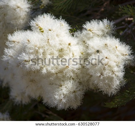 Masses of white fluffy flowers of australian melaleuca linariifolia masses of white fluffy flowers of australian melaleuca linariifolia snow in summer narrow leaved paperbark flax leaved paperbark add spectacular charm to mightylinksfo