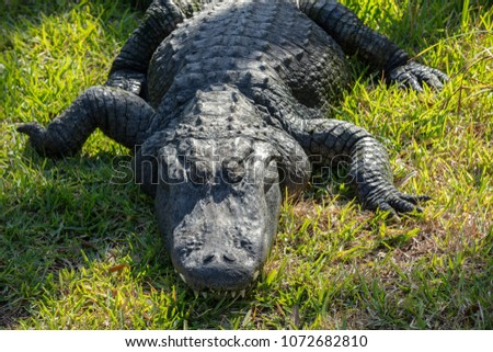 massive alligator napping with a toothy grin