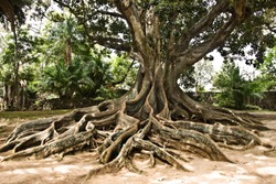 Massive Ancient Australian Banyan Tree Landscape in Garden, Azores, Portugal