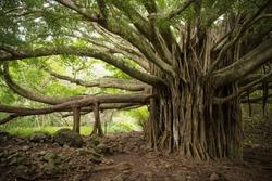 Massive Banyan Tree on the Pipiwai Trail in Haleakala National Park in Maui, Hawaii