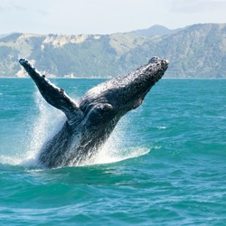 Massive humpback whale playing in water captured from Whale watching boat. The marine giant is on its route from New Zealand to Australia