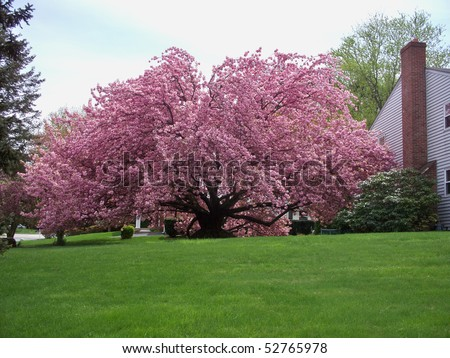 kwanzan cherry tree pictures. Kwanzan Cherry tree in a