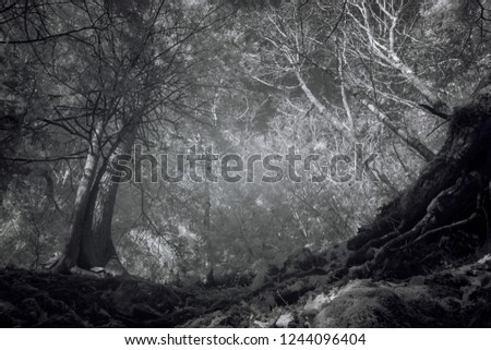 Massive Oak Trees On Edge Of Cliff, Black And White Infrared Photography