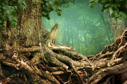 Massive tree with old crooked roots on forest background