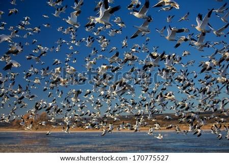 Massive Winter Migration
