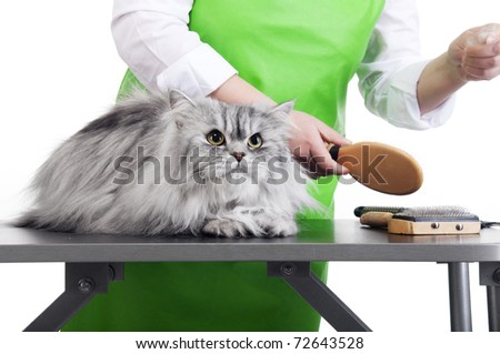 Master of grooming combs gray Persian cat on the table for grooming on a white background