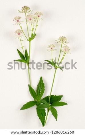 Masterwort botanical board