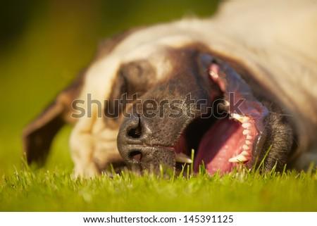 Mastiff is sleeping in meadow #145391125