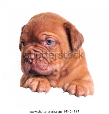 Mastiff puppy above white banner isolated