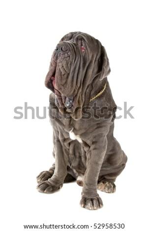 Mastino Napoletano also known as,Mastino,Neapolitan Bulldog,Italian Mastiff,Neo Mastiff.Nickname Neo, isolated on a white background