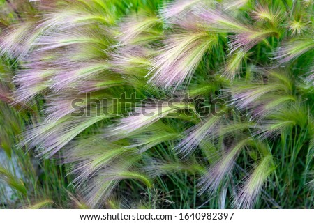 Mat grass. Feather Grass or Needle Grass, Nassella tenuissima, forms already at the slightest breath of wind filigree pattern. Stipa pennata