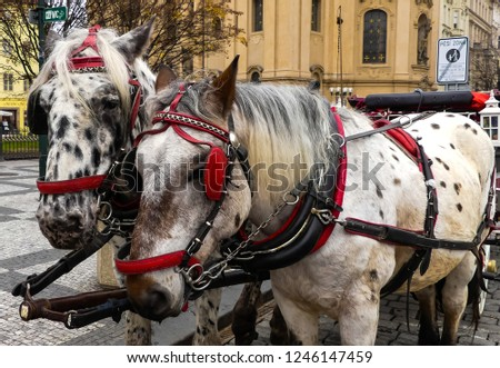 Matched pair of grey horses with appaloosa markings with red blinkers and nose bands. Standing, waiting patiently, hitched to a carriage. Public Square, Prague