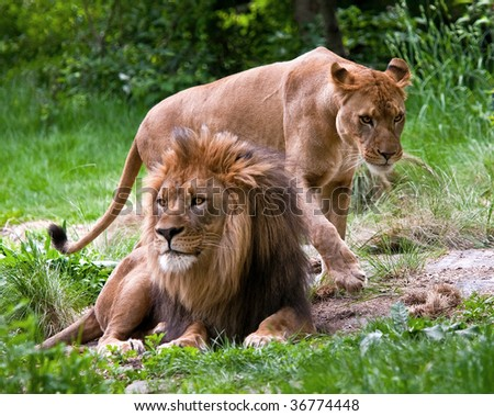 Mated pair of lions at the Bronx Zoo