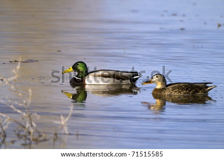 Mated pair of Mallards in beautiful water, with reflections