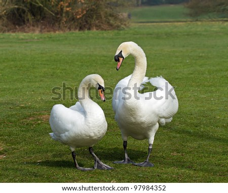 Mated pair of Mute Swans during courtship display