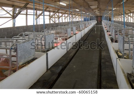 maternity room modern pig farm