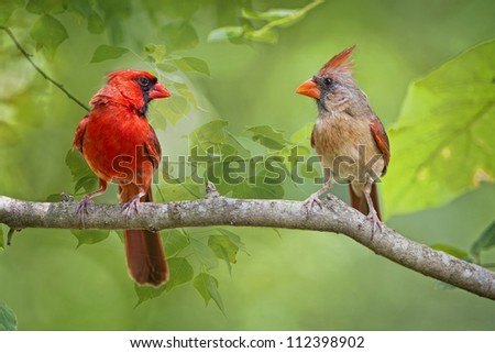 Mates for Life--Northern Cardinals on a branch