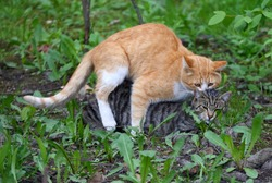 Mating a red cat with a gray cat in green grass