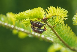 Mating cockchafers or may bugs on a sunny evergreen tree, these bugs are breeding every two years and are a danger for agriculture as they eat leaves and buds, Austria, Europe
