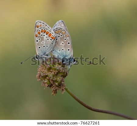 Mating Common Blue (Polyommatus icarus) butterfly and Brown Argus (Aricia agestis) butterfly very rare