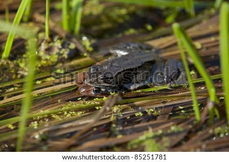 Mating common frogs (Rana temporaria) from Hoersholm Arboretum, Denmark.