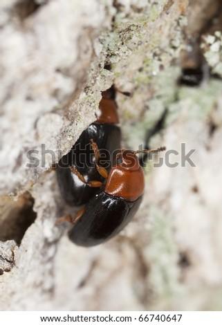 Mating Darkling beetles (Neomida)