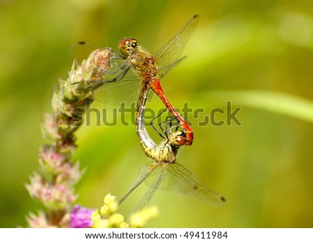 mating dragonfly - stock photo