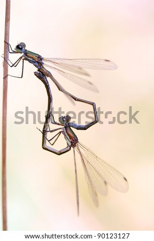 mating Emerald Damselfly or Common Spreadwing - Lestes sponsa - stock photo