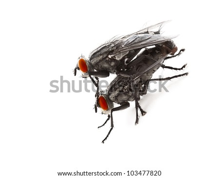 Mating flyes, two common grey flyes isolated on white background, extreme closeup macro on an creepy domastic insect with red eyes, invertebrate animals details, vermin