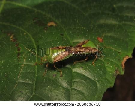 Mating, green insects (Edessa meditabunda) Foto stock ©