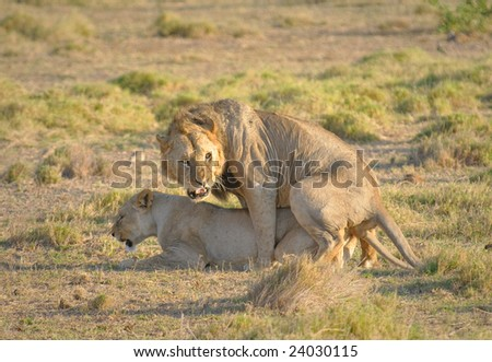 Mating lions, Amboseli national park