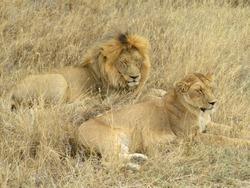 Mating Lions Safari Tanzania Africa