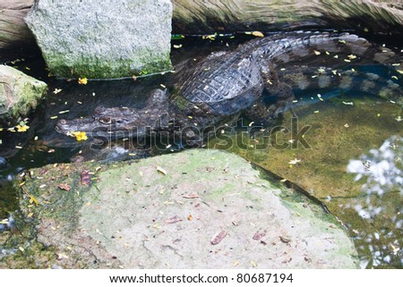 Mating of Caiman Crocodile in water