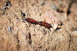 Mating of fire beetles. The first spring insects on the background of the ground. Close-up, selective focus, macro