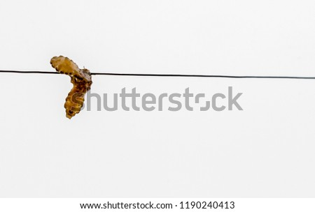 Mating of louse. Louse isolated in white background