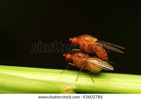 Mating pair of fly